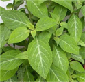 Salvia Divinorum plants